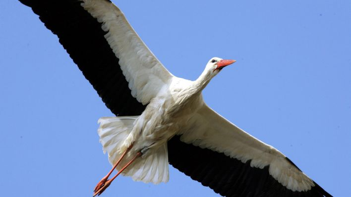 Storch, Foto: Colourbox
