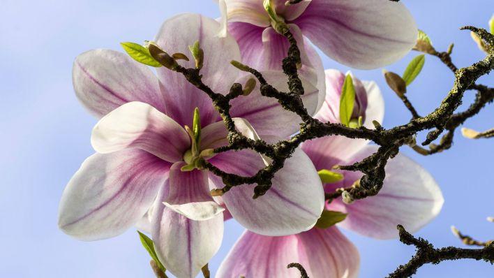 bl tenk niginnen des fr hlings magnolien rbb. Black Bedroom Furniture Sets. Home Design Ideas