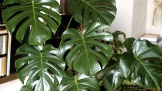 Fensterblatt; monstera deliciosa (Quelle: imago/Manfred Ruckszio)