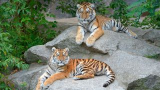 Tigerkinder Alisha und Dragan (Quelle: rbb/ Thomas Ernst)