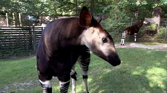 Das Okapi Rbb