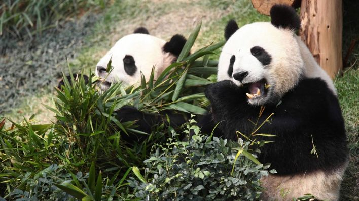 Pandas in China (Quelle Archivbild: imago/Xinhua)