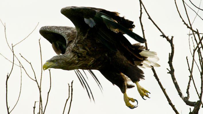 Seeadler (Symbolbild, Quelle: Patrick Pleul/dpa)