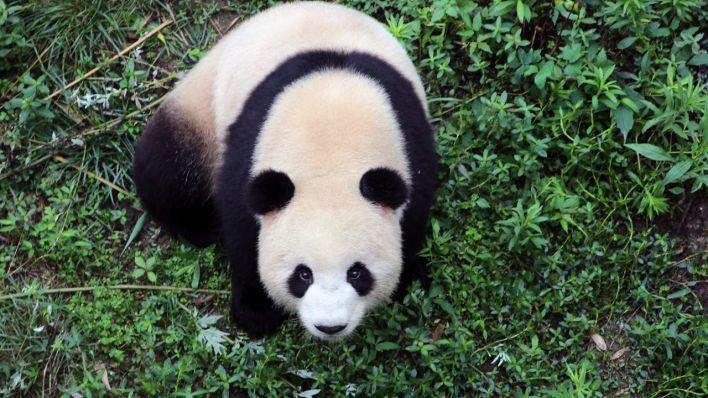 Neues Pandapärchen aus China kommt nach Berlin
