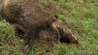 Ein totes Wildschwein liegt auf einer Wiese. (Bild: rbb)