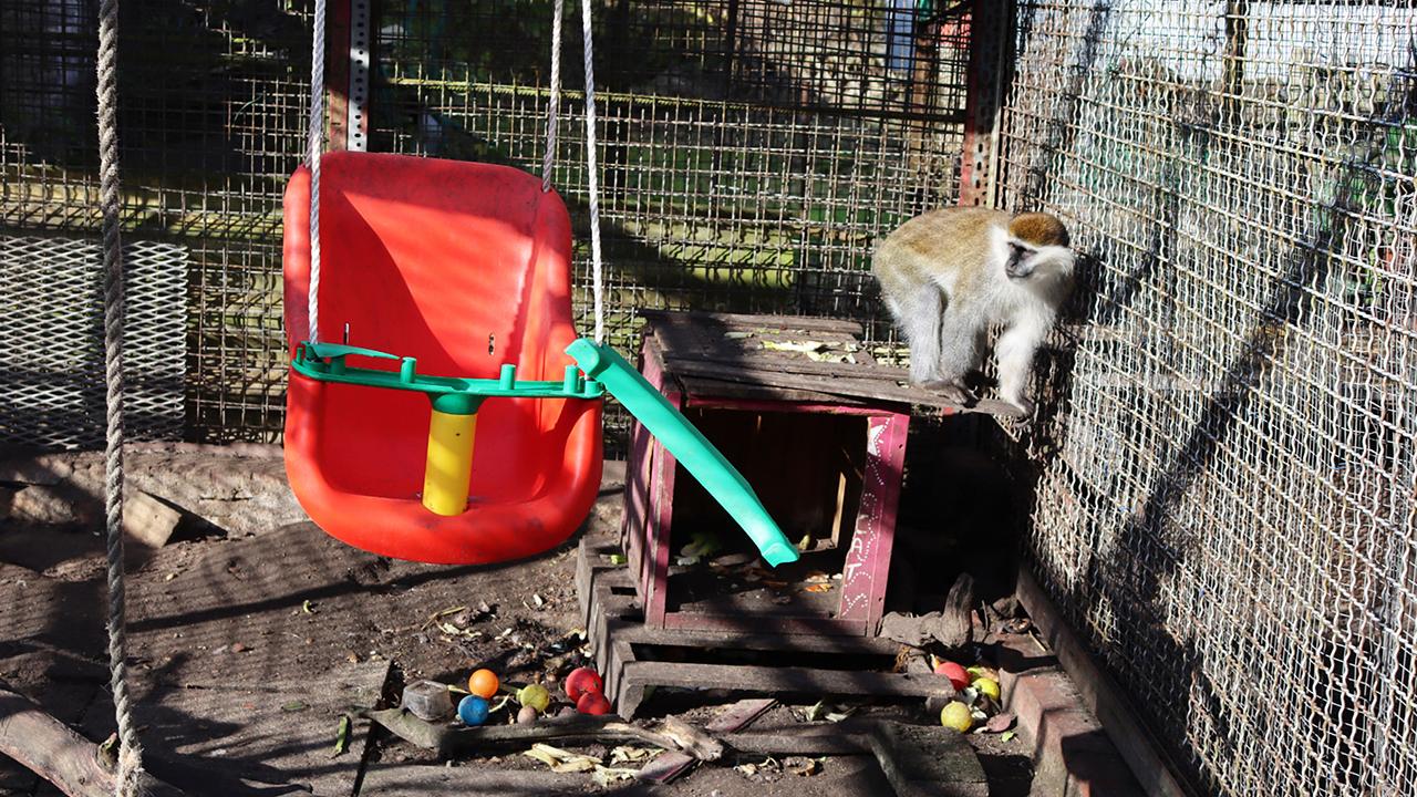 Im Gehege der Grünen Meerkatzen im Zoo in Nauen, Brandenburg. Das Veterinäramt des Landkreises Havelland hat den Zoo am 15.01.2021 geschlossen. (Quelle: Aktion Tier e.V.)