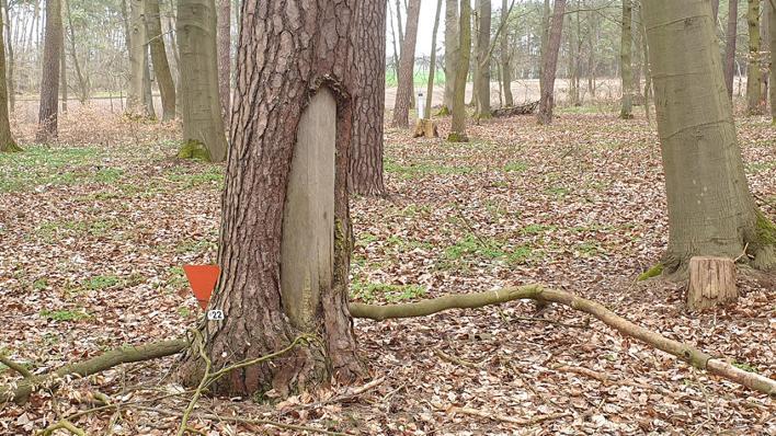 An einem Baum fehlt ein großes Stück Rinde von dem sich KZ-Häftlinge im April 1945 aus Verzweiflung ernährten (Bild: rbb/Oliver Soos)